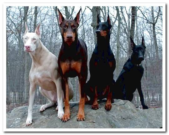 All about the Albino Doberman Why are they totally white?