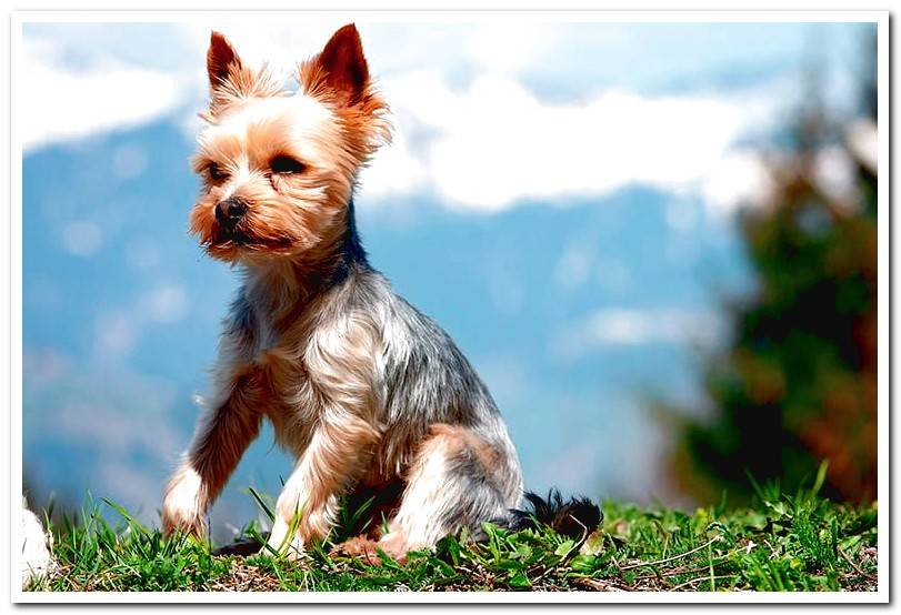 Yorkshire terrier | Temperament and care